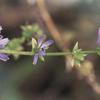 【チコリ】〜花や葉、根っこも大活躍〜