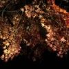 大磯の紅葉を見に。