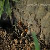 オオスズメバチの女王蜂の樹液採取