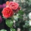 5/17 ベランダのバラ  暑い日が続きます