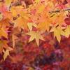 モミジバフウの紅葉写真