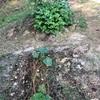 初心者の家庭菜園 ナスの収穫までの育て方