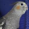 ♪63 鳥さんと暮らす側から見る秋田の動物病院事情