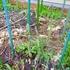 アスパラが毎日収穫できるようになった!