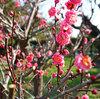 梅が咲いた犬千代ルートてくてく歩く