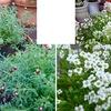 正月用ということでもありませんが,冬定番の花たちも購入してあります.花かんざし / アリッサム / ガーデンシクラメン / ハボタン.そして,初めてのヤブコウジも.