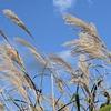 仙石原すすき草原 11月初旬まではまだ見頃 金色に変わりゆくススキを見逃すな! 駐車場情報あり