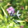 丁子草咲き、芍薬を放つ