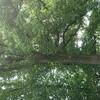 新宿御苑で見た植物⑥ 百合の木(ユリノキ)