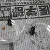 コクワ7月採集幼虫~羽化