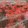 週末風景[モミジ][ツバキ][コゲラ][シジュウカラ][カワセミ][メジロ][シロハラ]