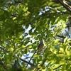 葉陰で虫を捕るコムクドリ