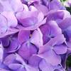 紫陽花が!