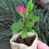 ハナキリンの花