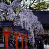 平野神社で夕暮れ時の魁桜など@2018