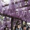 京都鳥羽での藤見・同志社キャンパス訪問など