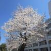 横浜西区桜(花見)開花状況2018年3月25日横浜西区ドットコム