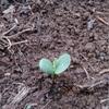 坊ちゃんカボチャ定植。