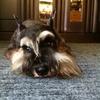 【日本で珍しい犬種】ミニニュアシュナウザとは?性格・特徴・飼いやすさについて