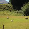 羊というケモノ