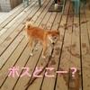 柴犬チャーは、浮気者!!
