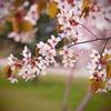 見栄は捨てた。私の街の桜フォト。