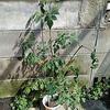 【挑戦】キッチン菜園トマト ひと房水耕栽培 その名もBUNCHTOMATO