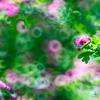メイフラワー:セイヨウサンザシが作る光と影