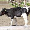 【岩手県】小岩井農場で牛に会ってきた感想!癒やしを求めに。【口コミ】