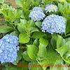 紫陽花の季節・紫陽花の肥料について