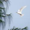 白鯵刺(シロアジサシ)