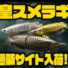 【ドランクレイジー】アロワナデザインのビッグベイト「皇スメラギ」通販サイト入荷!