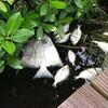 フロリダで魚大量死/パラナでは川が干上がり魚大量死/バルト海ではシアノバクテリアの巨大な渦/そして気になる異常な高温(猛暑)