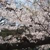 桜クエスト7(上野恩賜公園)