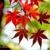 ブログコラボ企画◆『紅葉』