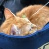ビビ(ネコ推定生後7ケ月)、はじめての体調不良で病院へ