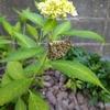 裏庭の蝶々