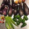 初心者の家庭菜園 ナスとピーマンを収穫