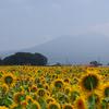 八重向日葵
