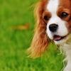 犬アドベントカレンダー21日目 キャバリア・キング・チャールズ・スパニエル