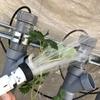 アブラムシを簡単に除去する方法【イチゴの水耕栽培】