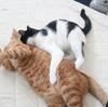 茶トラ猫・ムギ vs ハチワレ猫・はっぱ