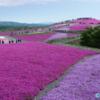 「芝桜ヌボー」の仕込みが始まった    ―茶臼山高原の新しい区画で植栽開始―