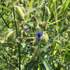 マメ科の植物