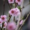 曇り空 桃の花