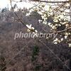 春の里山 木蓮