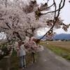 新江の桜並木(阿賀野市)
