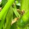 完全無肥料栽培 青森県産毛豆 ぜひ一度ご賞味ください