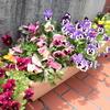 図書館入口の花が満開です!!