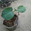一株からいくつも収穫できるブロッコリー、セニョールスティックの水耕栽培